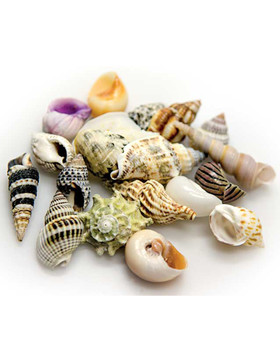 Hobby Sea Shells Set S (2-3 cm,20 Stück)
